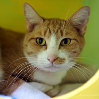Domestic Shorthair Cat for adoption in Tucson, Arizona - Slinky