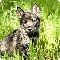 Adopt A Pet :: Timber - Auburn, CA