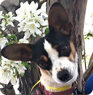 Chihuahua/Dachshund Mix Dog for adoption in Boulder, Colorado - Jazzy-ADOPTION PENDING