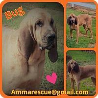 Adopt A Pet :: Bug - Dunmore, WV