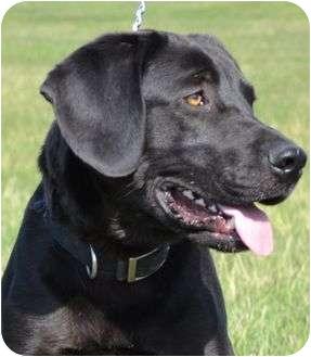 Labrador Retriever Mix Dog for adoption in Newport, Vermont - Rooney