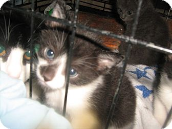 Domestic Mediumhair Kitten for adoption in Westfield, Massachusetts - Gus