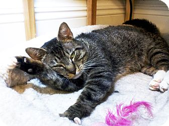 Domestic Shorthair Cat for adoption in Brooklyn, New York - Mr. Henry