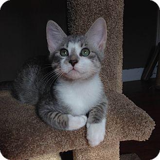 Domestic Shorthair Kitten for adoption in Marietta, Georgia - Cam