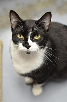 Domestic Shorthair Cat for adoption in Atlanta, Georgia - Khalisi 150991