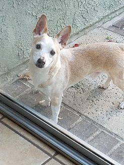 Corgi/Chihuahua Mix Dog for adoption in Rancho Santa Margarita, California - ZZ-Jack *courtesy post