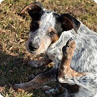 Adopt A Pet :: Ace - Westport, CT