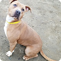Pit Bull Terrier Mix Dog for adoption in Visalia, California - Nalleli