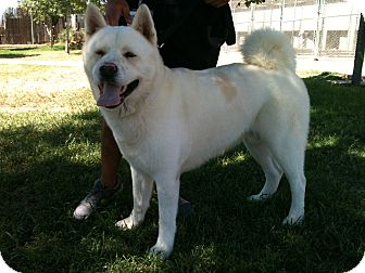 Akita Dog for adoption in Phoenix, Arizona - Tara