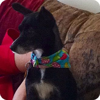 Chihuahua/Terrier (Unknown Type, Small) Mix Dog for adoption in Leeds, Alabama - Kacey
