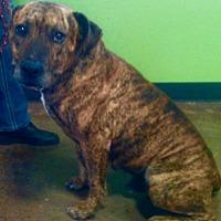 Adopt A Pet :: Diesel (Lil'D) - Van Alstyne, TX
