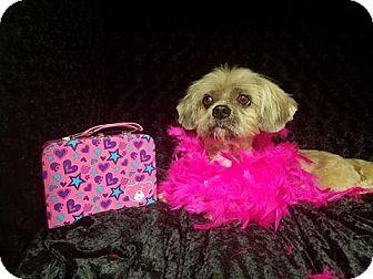 Lhasa Apso/Shih Tzu Mix Dog for adoption in Urbana, Ohio - Sammi West