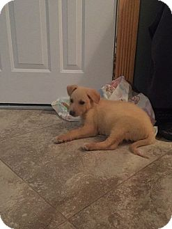 Siberian Husky Mix Puppy for adoption in Shingleton, Michigan - Ginger