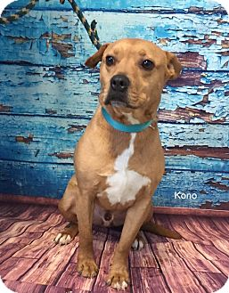 Pit Bull Terrier Mix Dog for adoption in Hibbing, Minnesota - Kona