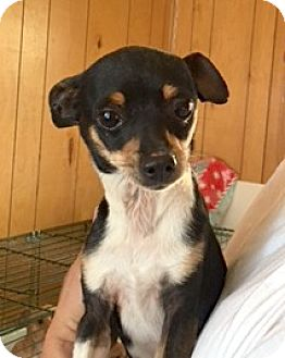 Chihuahua Mix Dog for adoption in San Pablo, California - BABE