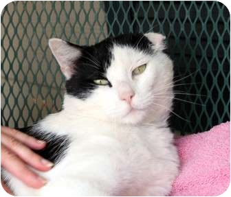 Domestic Shorthair Cat for adoption in Nolensville, Tennessee - Gary-O