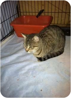 Domestic Shorthair Cat for adoption in Clay, New York - Milley