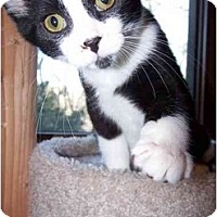 Domestic Shorthair Cat for adoption in Sheboygan, Wisconsin - Rufus