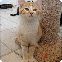 Adopt A Pet :: Midas - North Syracuse, NY