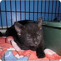 Adopt A Pet :: Cinders - Warren, MI
