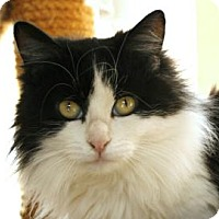 Domestic Mediumhair Cat for adoption in Mountain Center, California - Mabel