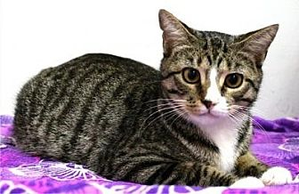 Domestic Shorthair Cat for adoption in Sebastian, Florida - Luke