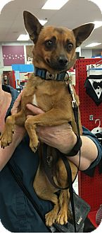Miniature Pinscher/Chihuahua Mix Dog for adoption in Tucson, Arizona - Taz