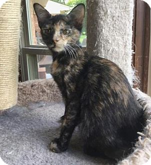 Domestic Shorthair Kitten for adoption in Sterling Heights, Michigan - Francoise