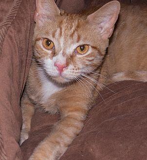 Domestic Shorthair Cat for adoption in Elmwood Park, New Jersey - Devon