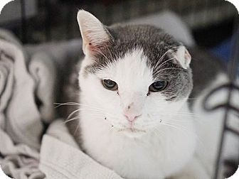 Domestic Shorthair Cat for adoption in Brooklyn, New York - Mr. T