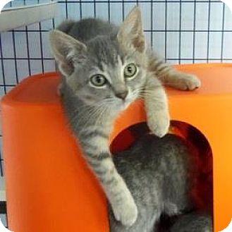 Domestic Shorthair Kitten for adoption in Janesville, Wisconsin - Aoli