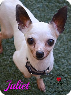 Chihuahua Mix Dog for adoption in Youngwood, Pennsylvania - Juliet