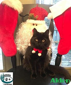 Domestic Shorthair Kitten for adoption in Huntsville, Ontario - Aiden - Adopted January 2017
