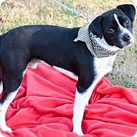 Adopt A Pet :: Cricket - Knoxville, TN