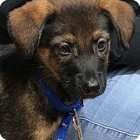Adopt A Pet :: Alfredo - MCLEAN, VA