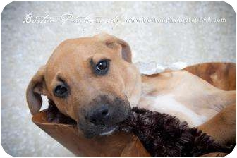 Catahoula Leopard Dog/English Bulldog Mix Puppy for adoption in Callahan, Florida - Nebo