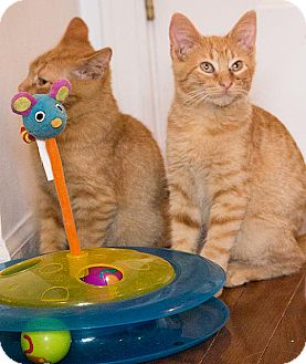 Domestic Shorthair Kitten for adoption in Chicago, Illinois - Goose & Takashi