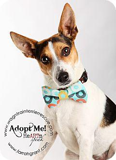 Rat Terrier Dog for adoption in Omaha, Nebraska - Badger