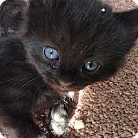Adopt A Pet :: Blue eyed black - Chandler, AZ