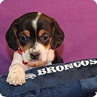 Adopt A Pet :: Frankie - Broomfield, CO
