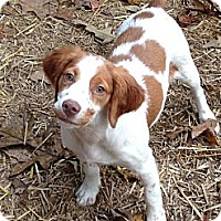 Adopt A Pet :: Jingle Belle - Kittery, ME