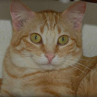 Domestic Mediumhair Cat for adoption in Des Moines, Iowa - DOLLY