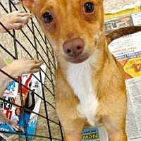 Terrier (Unknown Type, Medium)/Chihuahua Mix Dog for adoption in Fresno, California - Boomer