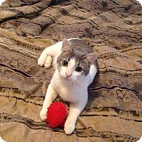 Adopt A Pet :: Asher - St. Louis, MO