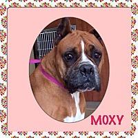 Boxer Dog for adoption in Oceanside, California - Moxie