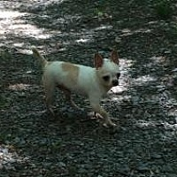 Chihuahua Mix Dog for adoption in Charlotte, North Carolina - Roly Poly
