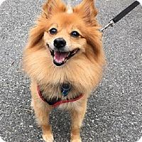Adopt A Pet :: Phebe - Rockaway, NJ