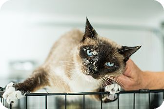 Siamese Cat for adoption in Los Angeles, California - Bella