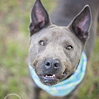 Staffordshire Bull Terrier/Cattle Dog Mix Dog for adoption in Houston, Texas - Jasper