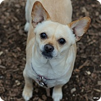 Adopt A Pet :: Layla - East Hartford, CT